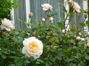 crocus-rose09-6-20.jpg